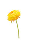 Strawflower with stalk on a white background Stock Photo