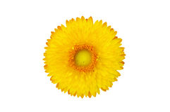 Strawflower växt (Xerochrysum Bracteatum) som isoleras från bacen Fotografering för Bildbyråer