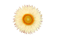 Strawflower växt (Xerochrysum Bracteatum) som isoleras från bacen Arkivbild