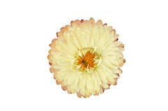 Strawflower växt (Xerochrysum Bracteatum) som isoleras från bacen Royaltyfria Foton