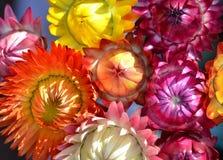 Strawflowers Foto de archivo libre de regalías