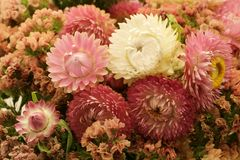 Strawflowers secs Images libres de droits