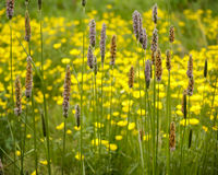 Straws and Buttercups. Purple and orange wild straws, grass & yellow buttercups Stock Images