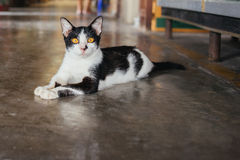Stray Asia cat. Stray cat lay on the floor, Thailand Stock Photo