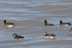Stray Barnacle Goose, Branta leucopsis with Canada Geese Stock Photo