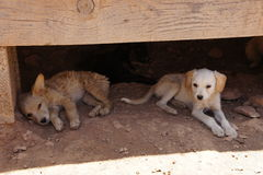 Stray beige puppies sheltering from the sun Stock Image