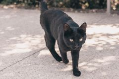 Stray black cat. With a chopped off tail stock image