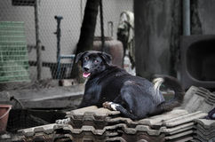 Stray Black Dogs In Thailand. Stock Images