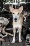 Stray brown Dogs In Thailand. Stock Image
