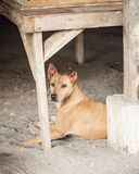 Stray Brown Mongrel Dog Sheltering in Construction Site Royalty Free Stock Photography