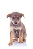 Stray brown puppy Royalty Free Stock Photo