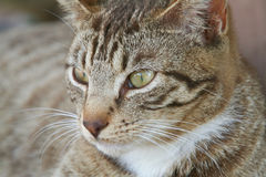 Stray Cat Royalty Free Stock Photo