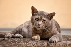 Stray cat Royalty Free Stock Photos