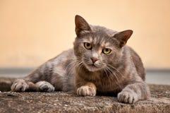 Stray cat. Gray stray cat at the street Royalty Free Stock Photos