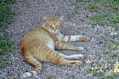 Stray cat. Stray ginger cat laying in the sun Royalty Free Stock Image