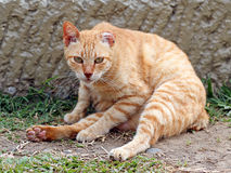 Stray cat Stock Image