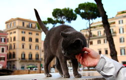 Stray cat. Affectionate stray cat in Rome Royalty Free Stock Images