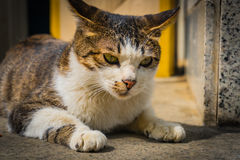 Stray cat crouch close up in sunshine. Stray cat crouch close up  in sunshine Stock Images