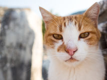 Stray cat in Ephesus. Stray cat in Ephesus on top of old ruins royalty free stock image