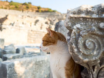 Stray cat in Ephesus. Stray cat in Ephesus on top of old ruins Royalty Free Stock Images