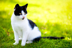 Stray cat - felis catus Royalty Free Stock Photo