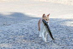 Stray cat with fish in her mouth Royalty Free Stock Photos