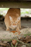 Stray Cat and food. Close up of a stray cat and its food Stock Images