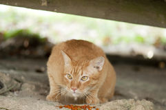 Stray Cat and food. Close up of a stray cat and its food Royalty Free Stock Images