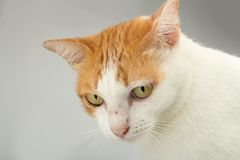 Stray cat hair color orange and white. studio. closeup.  royalty free stock photography