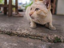 Stray Cat Head Notch Crouching. Stray Cat Yellow White Striped Head Notch Crouching Royalty Free Stock Photos