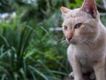 Stray Cat Head Notch Looking. Stray Cat Yellow White Striped Head Notch Looking Stock Photo