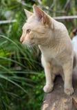 Stray Cat Head Notch Looking. Stray Cat Yellow White Striped Head Notch Looking Stock Images