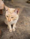 Stray Cat Head Notch Sitting. Stray Cat Yellow White Striped Head Notch Sitting Stock Photos