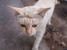 Stray Cat Head Notch Walking. Stray Cat Yellow White Striped Head Notch Walking Royalty Free Stock Photo