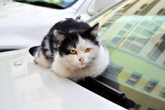 Stray cat. Homeless cat basking in the hood of a car Stock Photography