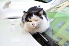 Stray cat. Homeless cat basking in the hood of a car Royalty Free Stock Photos