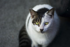 Stray cat. A hungry stray cat is begging for food Royalty Free Stock Photo