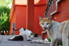 Stray cat in Istanbul Royalty Free Stock Photos