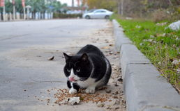 Stray cat keeps food. Stray black and white cat keeps its food stares intensely staying alert on the street Royalty Free Stock Photography