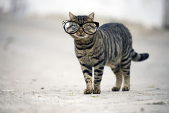 Stray cat looking at camera. Stray cat with glasses looking at camera on the street Stock Image