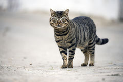 Stray cat looking at camera. Stray cat with glasses looking at camera on the street Stock Images