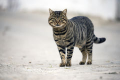 Stray cat looking at camera. Stray cat looking at camera on the street Stock Images