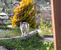 Stray cat lurking and watching stare feline sharp royalty free stock photo