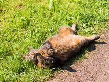 Stray cat lying on the grass, belly up. Relaxes and enjoys the sun, washes and licks paw Royalty Free Stock Photography