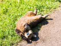 Stray cat lying on the grass outside. Belly up, relaxing and enjoying the sun, stretches, and looks at you Royalty Free Stock Images