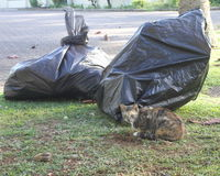Stray cat near garbage bags. Passed by this stray cat near some garage bags at the campus of the University in Suva, Fiji Stock Image