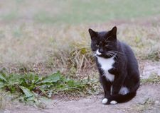 Stray cat observing surroundings. Stray male cat observing surroundings Stock Photography
