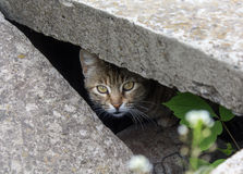 Stray cat peeking from the slit Stock Photos