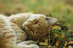 Stray Cat Photographer new photo, cute yellow cat royalty free stock images
