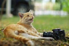 Stray Cat Photographer new photo, take photos of cute yellow cat stock image